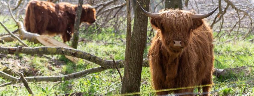 Eine Herde schottische Hochlandrinder (Highländer) schaut auch gerne in die beeindruckende Weite des Hochwaldes.